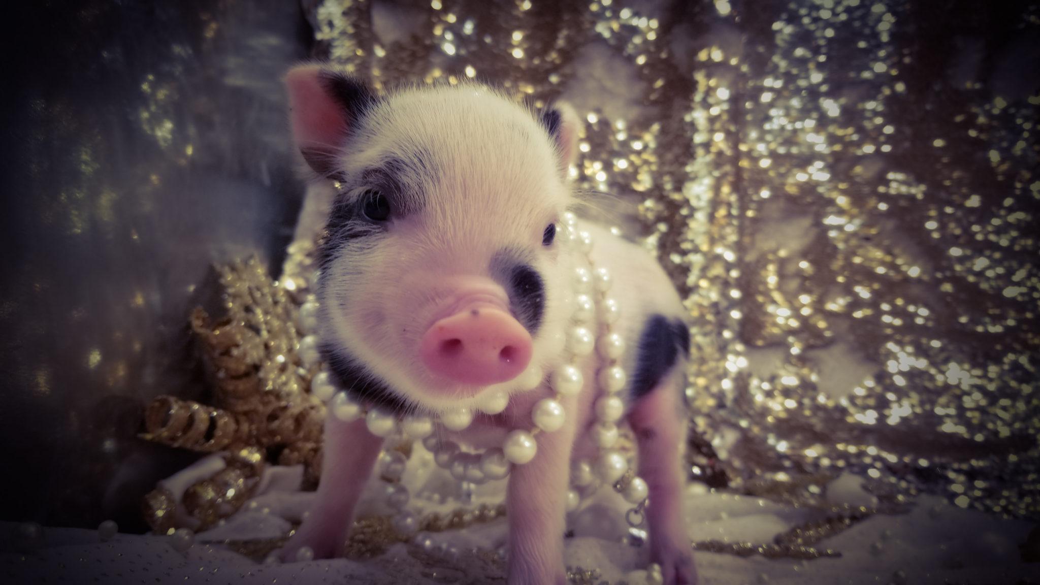 Новогодние Обои Со Свиньей На Рабочий Стол